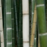 Bamboo_1
